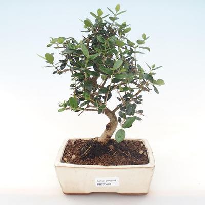 Indoor bonsai - Olea europaea sylvestris -Oliva European small leaf PB220478 - 1