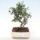Indoor bonsai - Olea europaea sylvestris -Oliva European small leaf PB220478 - 1/5