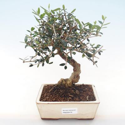 Indoor bonsai - Olea europaea sylvestris -Oliva European small leaf PB220479 - 1
