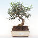 Indoor bonsai - Olea europaea sylvestris -Oliva European small leaf PB220479 - 1/5