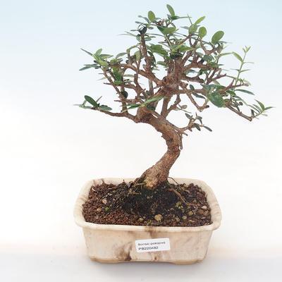 Indoor bonsai - Olea europaea sylvestris -Oliva European small leaf PB220482 - 1