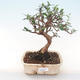 Indoor bonsai - Olea europaea sylvestris -Oliva European small leaf PB220482 - 1/5