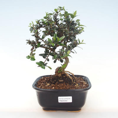 Indoor bonsai - Olea europaea sylvestris -Oliva European small leaf PB220483 - 1