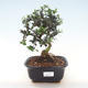 Indoor bonsai - Olea europaea sylvestris -Oliva European small leaf PB220483 - 1/5