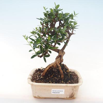 Indoor bonsai - Olea europaea sylvestris -Oliva European small leaf PB220484 - 1