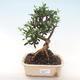 Indoor bonsai - Olea europaea sylvestris -Oliva European small leaf PB220484 - 1/5