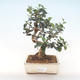 Indoor bonsai - Olea europaea sylvestris -Oliva European small leaf PB220485 - 1/5