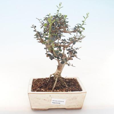 Indoor bonsai - Olea europaea sylvestris -Oliva European small leaf PB220486 - 1