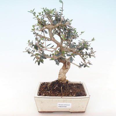 Indoor bonsai - Olea europaea sylvestris -Oliva European small leaf PB220489 - 1