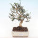 Indoor bonsai - Olea europaea sylvestris -Oliva European small leaf PB220489 - 1/5