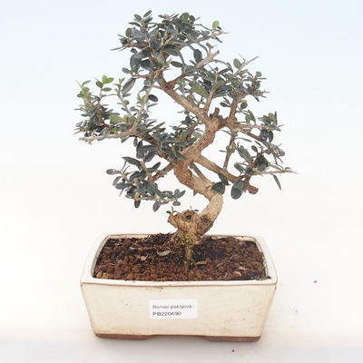 Indoor bonsai - Olea europaea sylvestris -Oliva European small leaf PB220490 - 1