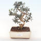 Indoor bonsai - Olea europaea sylvestris -Oliva European small leaf PB220490 - 1/5
