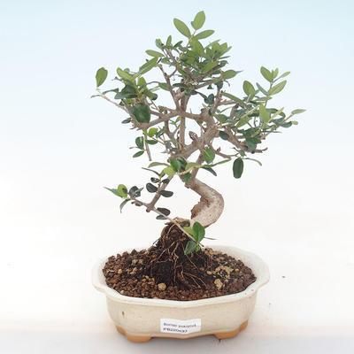 Indoor bonsai - Olea europaea sylvestris -Oliva European small leaf PB220493 - 1