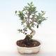 Indoor bonsai - Olea europaea sylvestris -Oliva European small leaf PB220493 - 1/5