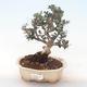 Indoor bonsai - Olea europaea sylvestris -Oliva European small leaf PB220494 - 1/5