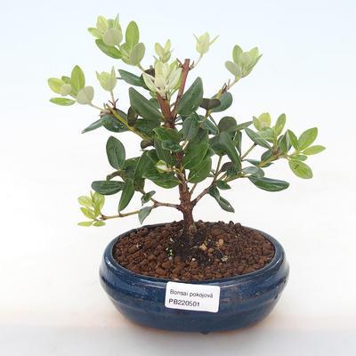 Indoor bonsai - Metrosideros excelsa PB220501 - 1