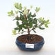Indoor bonsai - Metrosideros excelsa PB220501 - 1/3