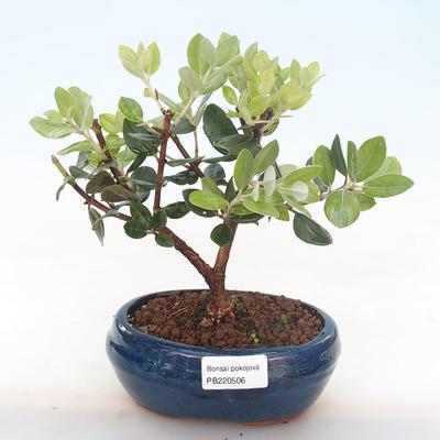 Indoor bonsai - Metrosideros excelsa PB220506 - 1