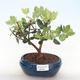 Indoor bonsai - Metrosideros excelsa PB220506 - 1/3