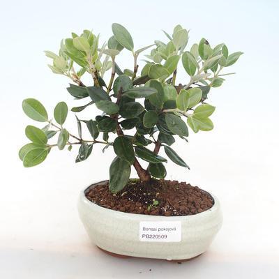 Indoor bonsai - Metrosideros excelsa PB220509 - 1