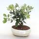 Indoor bonsai - Metrosideros excelsa PB220509 - 1/3
