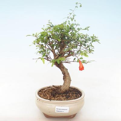 Indoor bonsai-PUNICA granatum nana-Pomegranate PB220511 - 1