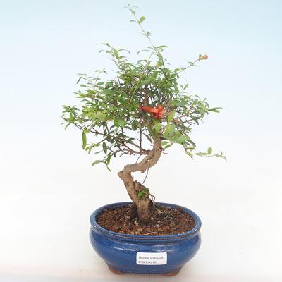Indoor bonsai-PUNICA granatum nana-Pomegranate PB220512 - 1