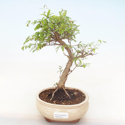 Indoor bonsai-PUNICA granatum nana-Pomegranate PB220514 - 1
