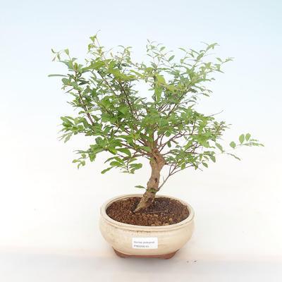 Indoor bonsai-PUNICA granatum nana-Pomegranate PB220515 - 1