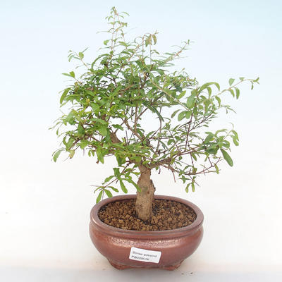 Indoor bonsai-PUNICA granatum nana-Pomegranate PB220516 - 1