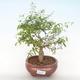 Indoor bonsai-PUNICA granatum nana-Pomegranate PB220516 - 1/3