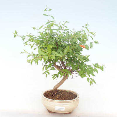 Indoor bonsai-PUNICA granatum nana-Pomegranate PB220517 - 1