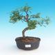 Room bonsai - Zantoxylum piperitum - Pepřovník - 1/4
