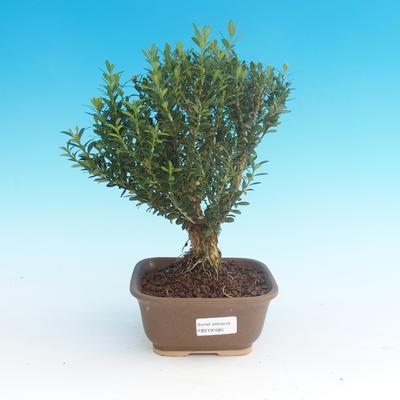 Room bonsai - Buxus harlandii - cork buxus - 1