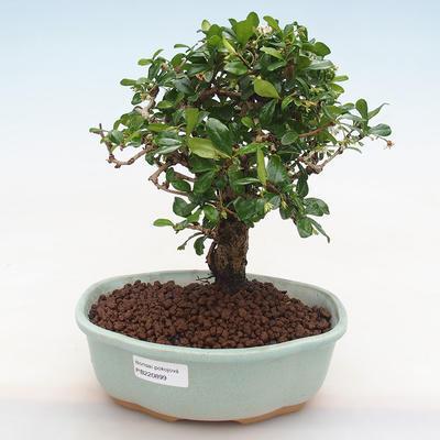 Indoor bonsai - Carmona macrophylla - Fuki tea PB220899 - 1