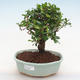 Indoor bonsai - Carmona macrophylla - Fuki tea PB220899 - 1/5