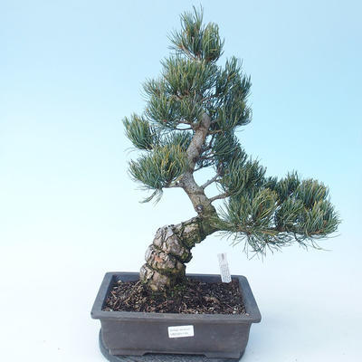 Pinus parviflora - Small-flowered Pine VB2020-118 - 1