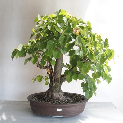 Outdoor bonsai - Linden - Tilia cordata - 1
