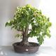 Outdoor bonsai - Linden - Tilia cordata - 1/5