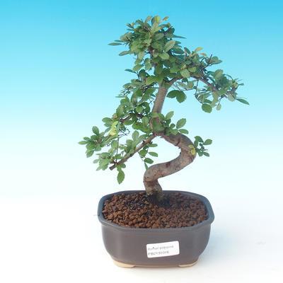 Indoor bonsai - Ulmus parvifolia - Lesser elm - 1