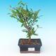 Room bonsai-PUNICA granatum nana-Pomegranate - 1/3