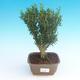 Room bonsai - Buxus harlandii - cork buxus - 1/4