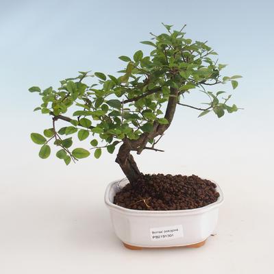 Indoor bonsai - Sagerécie thea - Sagerécie thea 412-PB2191301 - 1