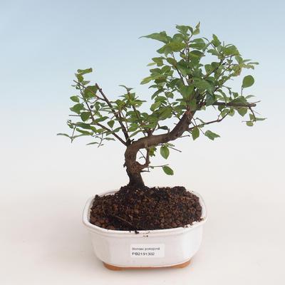 Indoor bonsai - Sagerécie thea - Sagerécie thea 412-PB2191302 - 1