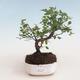 Indoor bonsai - Sagerécie thea - Sagerécie thea 412-PB2191302 - 1/4