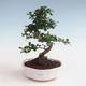 Indoor bonsai - Carmona macrophylla - Tea fuki PB2191330 - 1/5