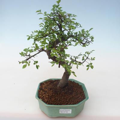 Indoor bonsai - Ulmus parvifolia - Small leaf elm PB2191730 - 1