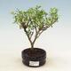 Room bonsai - Serissa foetida Variegata - Strom thousands of stars - 1/2