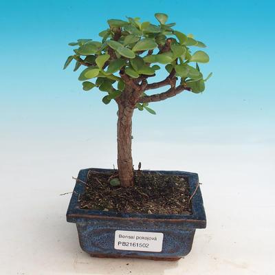 Room bonsai - Portulakaria Afra - Tlustice - 1