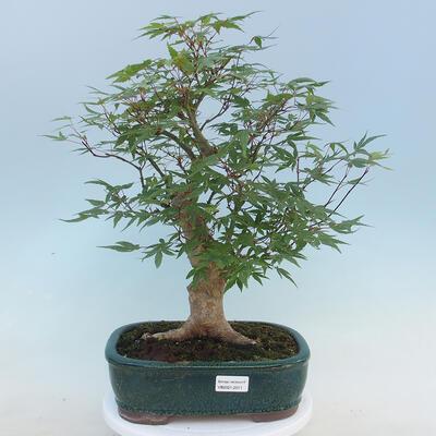 Pinus parviflora - Small-flowered Pine VB2020-121 - 1